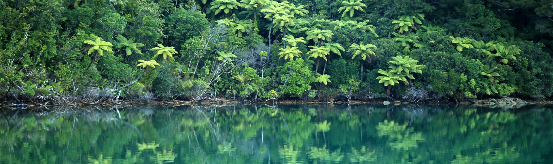 Lush green New Zealand punga tree ferns and bush are reflected in the tranquil blue waters of the Marlborough Sounds, New Zealand.